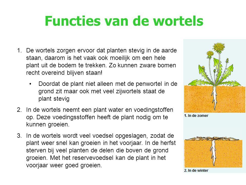Functies van de wortels 1.De wortels zorgen ervoor dat planten stevig in de aarde staan, daarom is het vaak ook moeilijk om een hele plant uit de bodem te trekken.