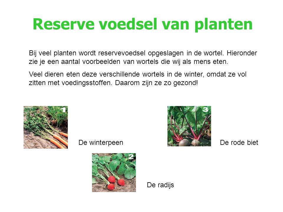 Reserve voedsel van planten Bij veel planten wordt reservevoedsel opgeslagen in de wortel. Hieronder zie je een aantal voorbeelden van wortels die wij