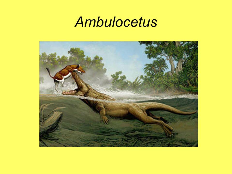 Ambulocetus