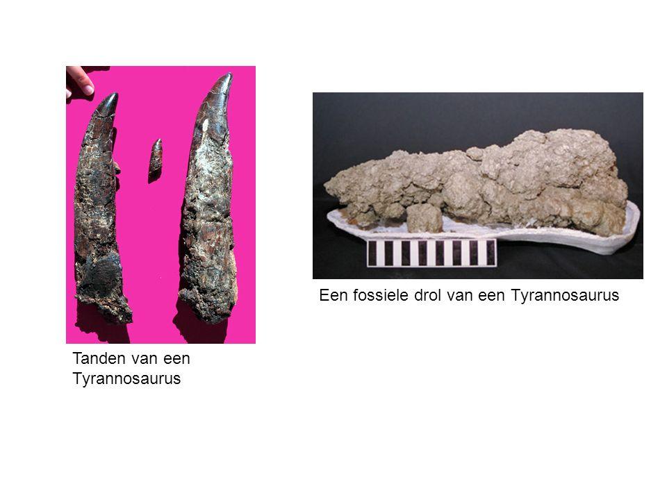 Fossielen Vooral harde gedeelten van organismen fossiliseren: skelet, schelpen, tanden.