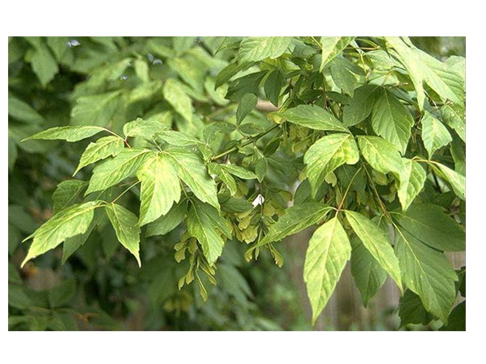 Acer negundo blad, vrucht