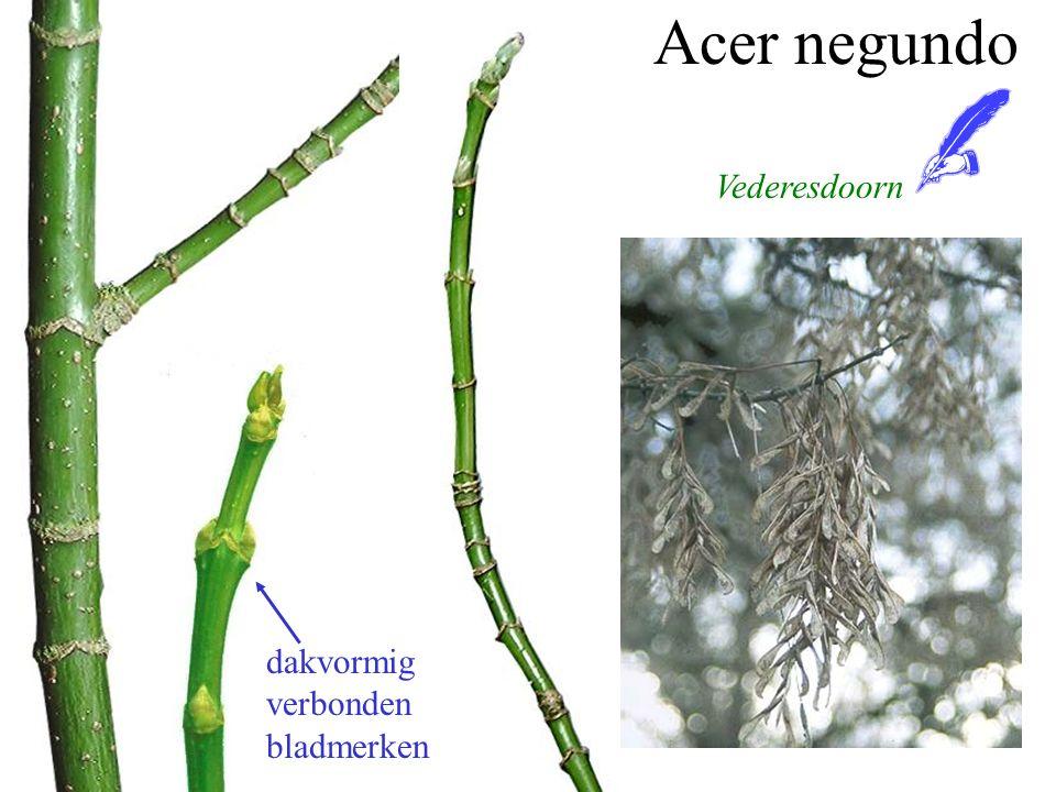 Acer negundo dakvormig verbonden bladmerken Vederesdoorn