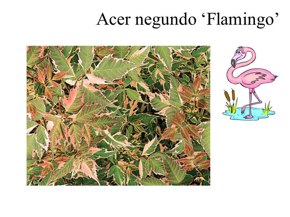 Acer negundo 'Flamingo'