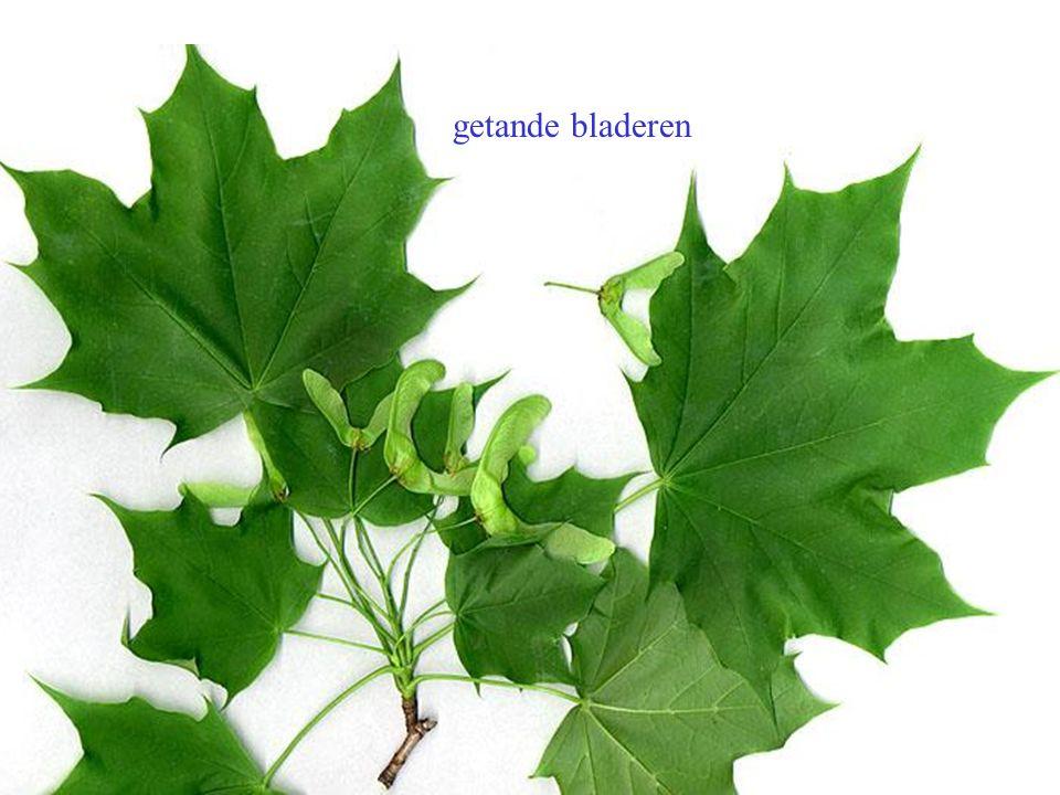 getande bladeren Acer platanoides blad