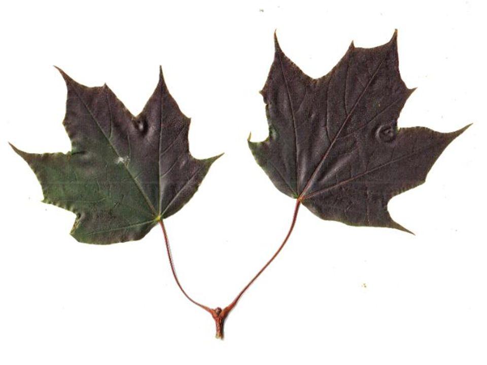 Acer platanoides F. B. blad
