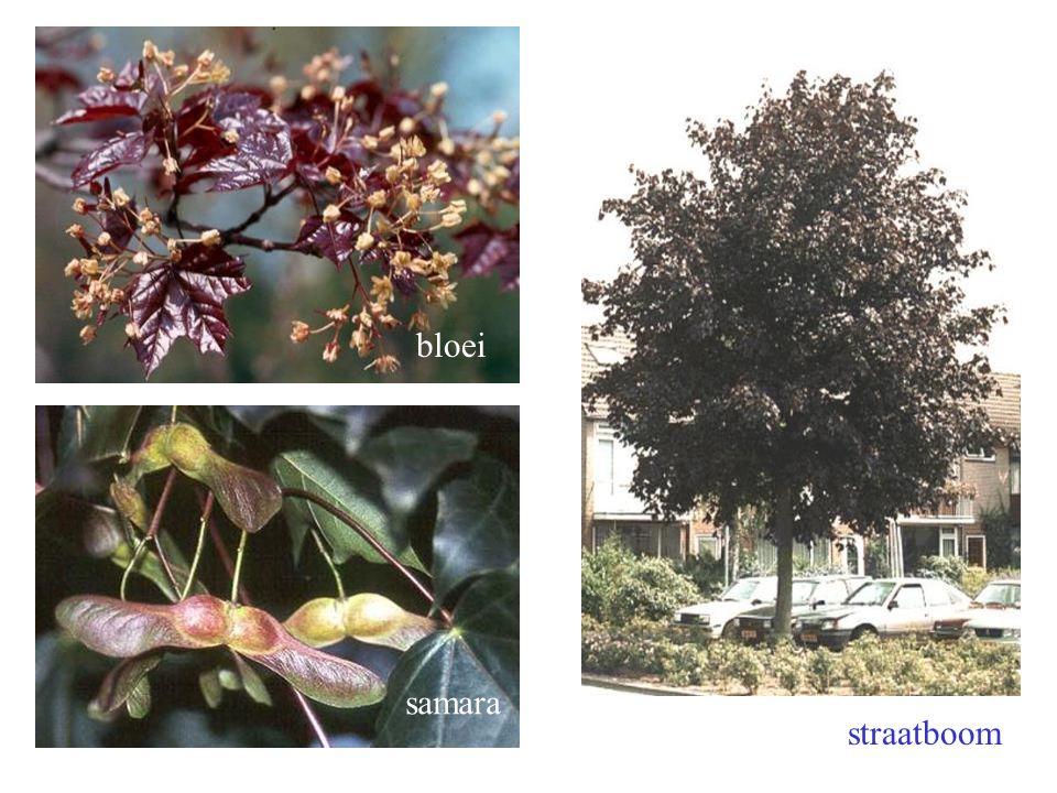 bloei samara straatboom Acer platanoides F. B. bloei, boom