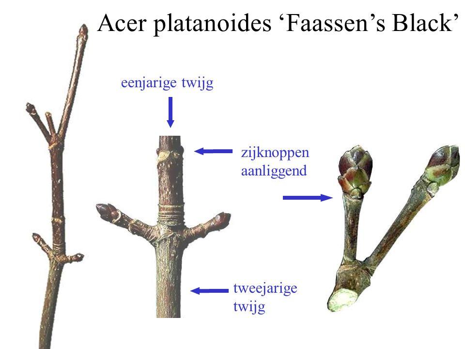 eenjarige twijg tweejarige twijg zijknoppen aanliggend Acer platanoides 'Faassen's Black'