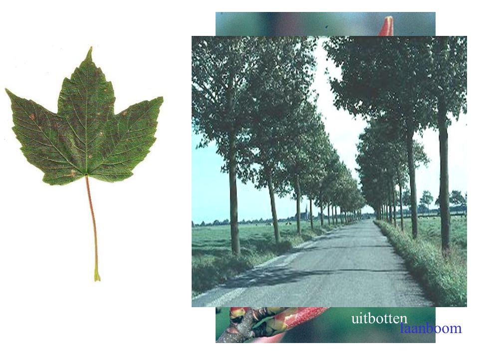 uitbotten laanboom Acer pseudoplatanus blad, boom