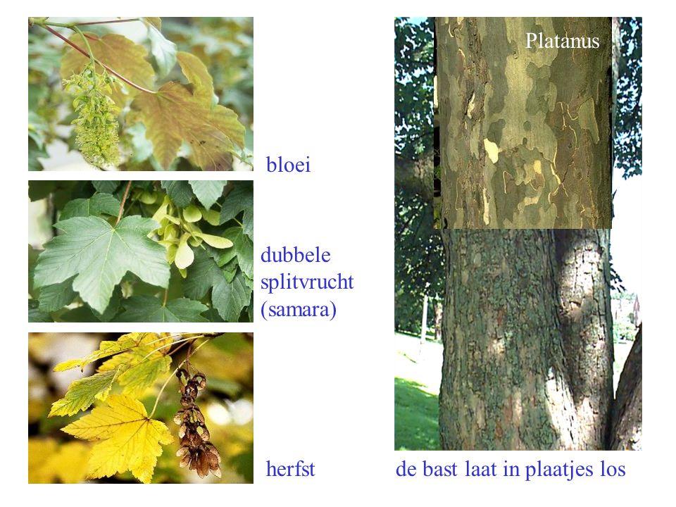 bloei dubbele splitvrucht (samara) herfst de bast laat in plaatjes los Platanus Acer pseudoplatanus bloei, bast