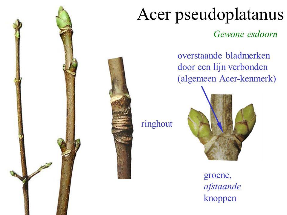 Acer pseudoplatanus Gewone esdoorn groene, afstaande knoppen overstaande bladmerken door een lijn verbonden (algemeen Acer-kenmerk) ringhout