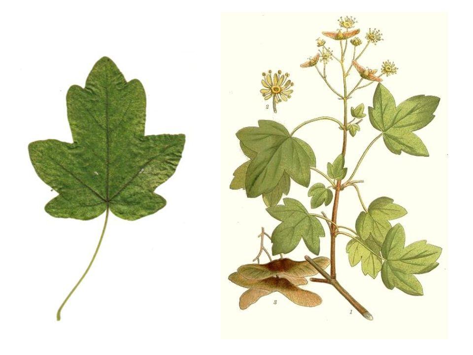 dubbele samara Acer platanoides bloei, vrucht