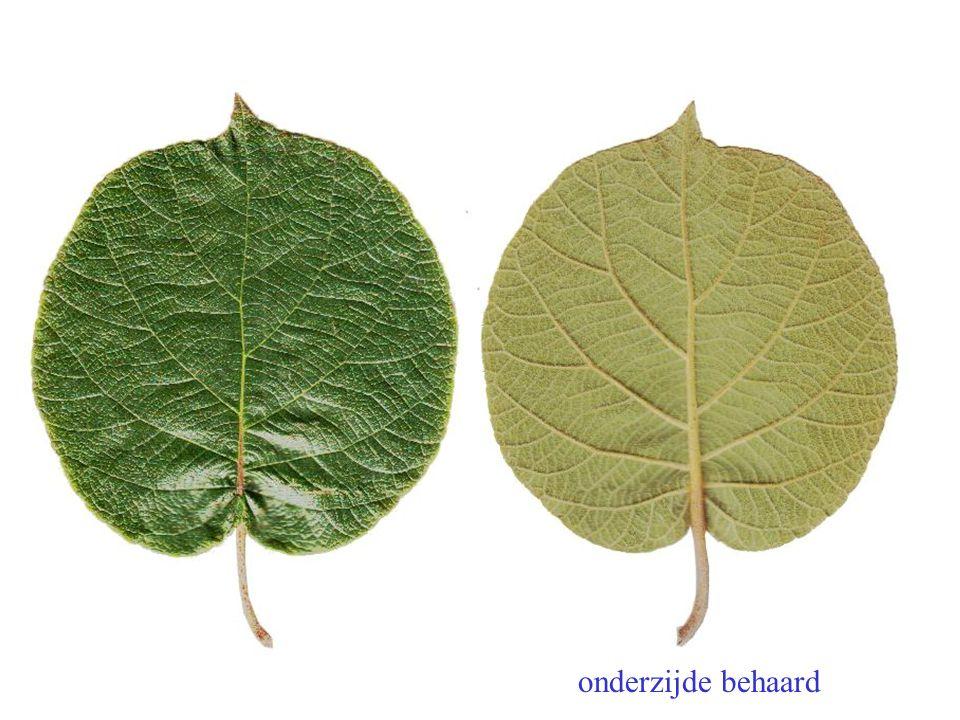 onderzijde behaard Actinidia chinensis blad