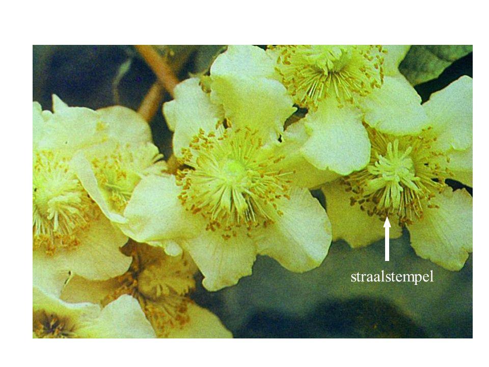 straalstempel Actinidia chinensis bloei
