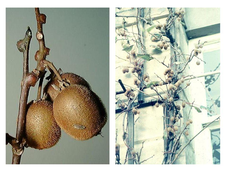 Actinidia chinensis vrucht