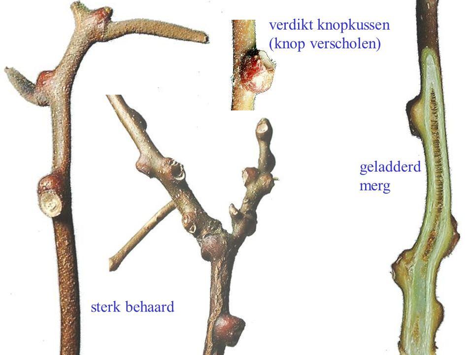 sterk behaard geladderd merg verdikt knopkussen (knop verscholen) Actinidia chinensis twijgen