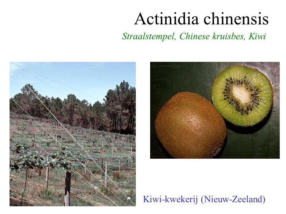 Actinidia chinensis Straalstempel, Chinese kruisbes, Kiwi Kiwi-kwekerij (Nieuw-Zeeland)