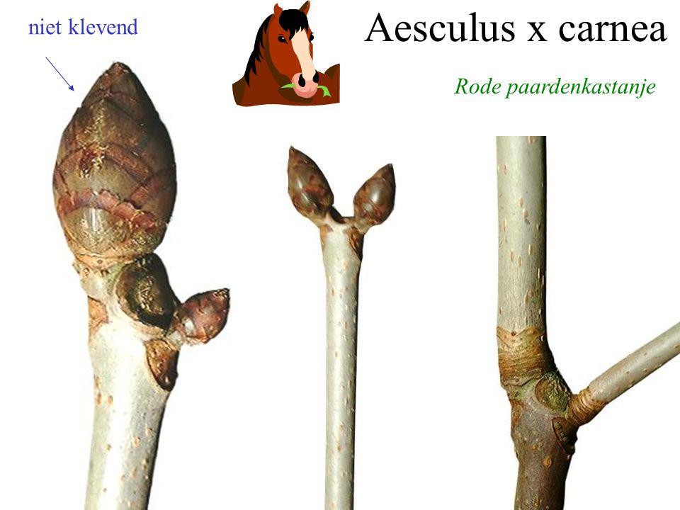 Aesculus x carnea niet klevend Rode paardenkastanje