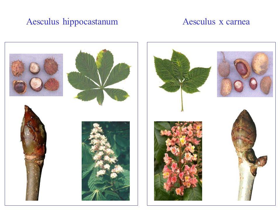 Aesculus hippocastanumAesculus x carnea Aesculus carnea/hippocastanum