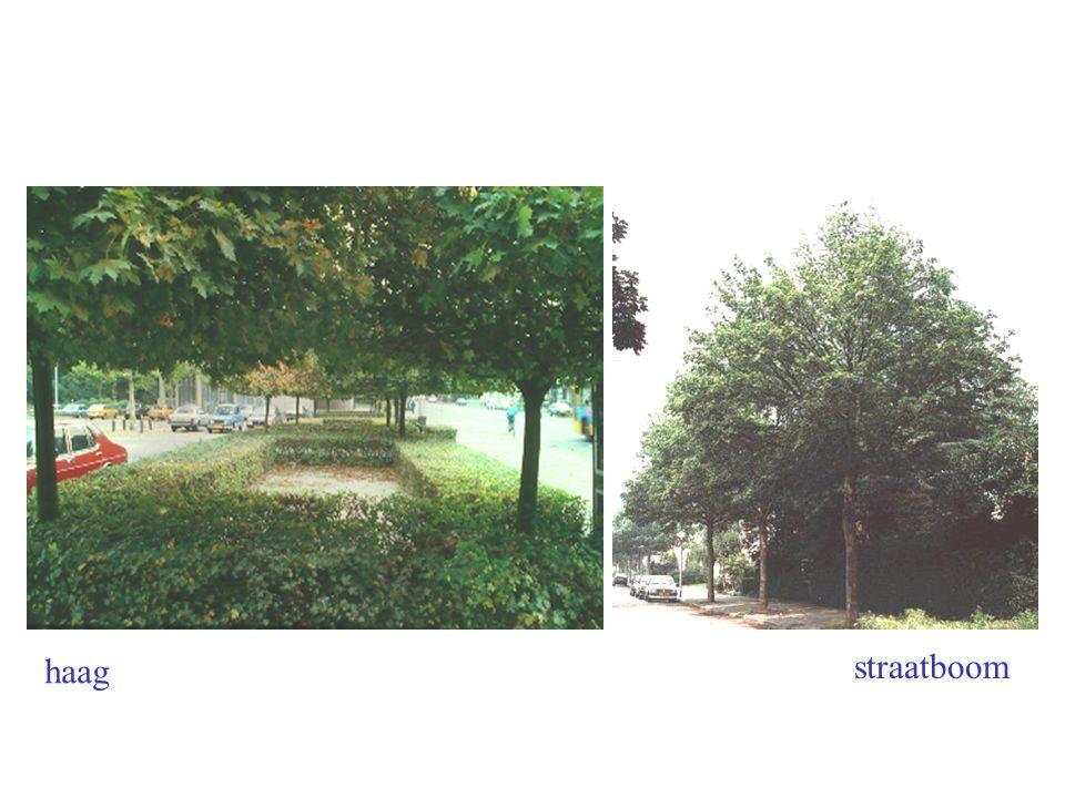 herfst bloei Acer platanoides boom