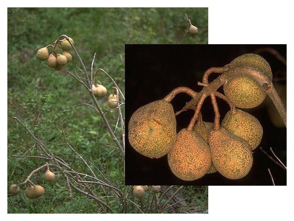Aesculus parviflora vrucht