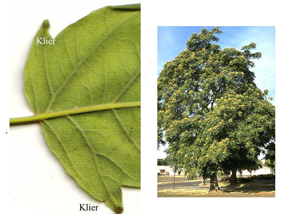 Klier Ailanthus altissima blad, boom