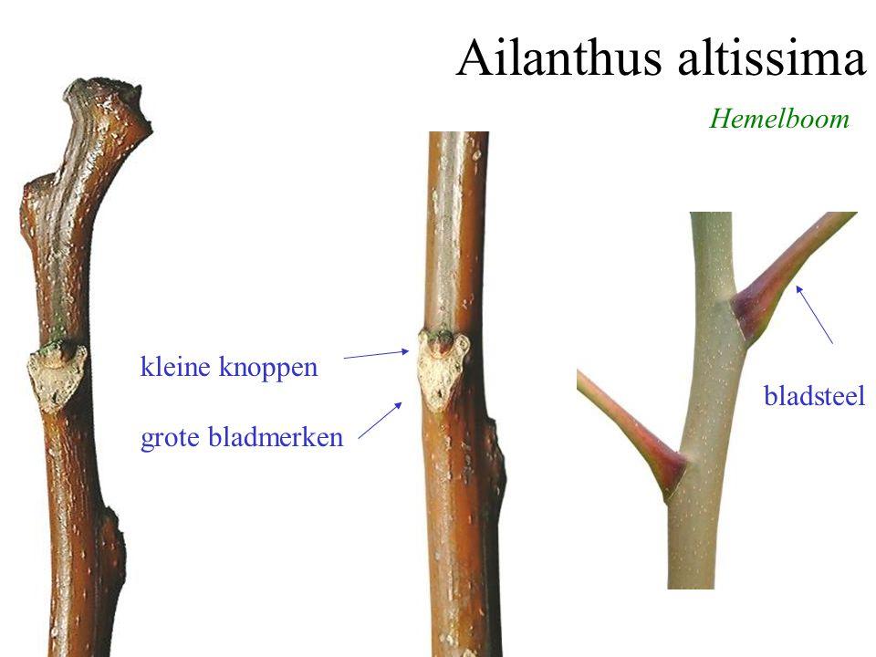 Ailanthus altissima kleine knoppen grote bladmerken Hemelboom bladsteel