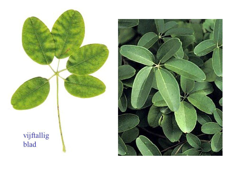 vijftallig blad Akebia quinata blad