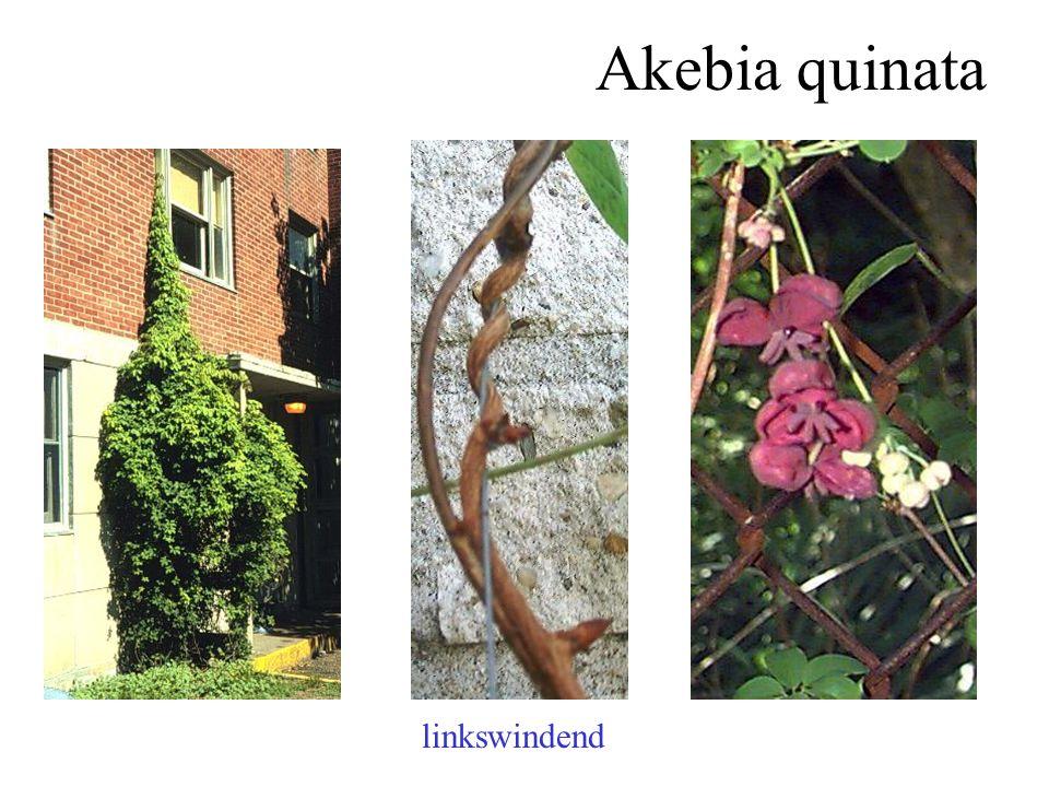 Akebia quinata linkswindend