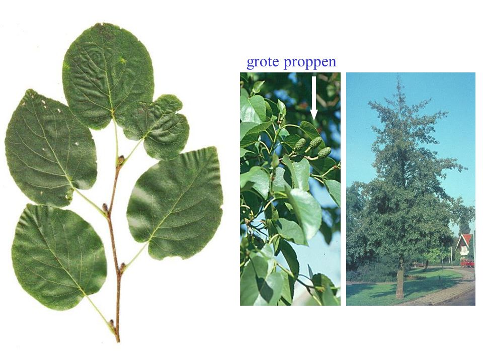 grote proppen Alnus cordata blad, boom