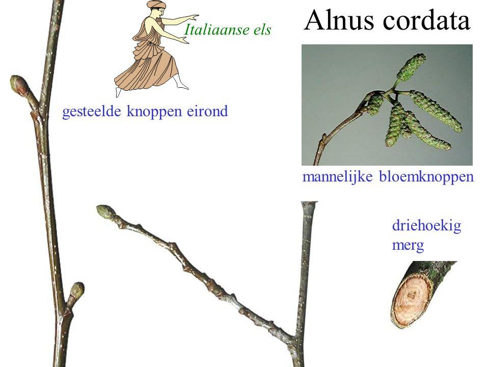 Alnus cordata gesteelde knoppen eirond driehoekig merg mannelijke bloemknoppen Italiaanse els