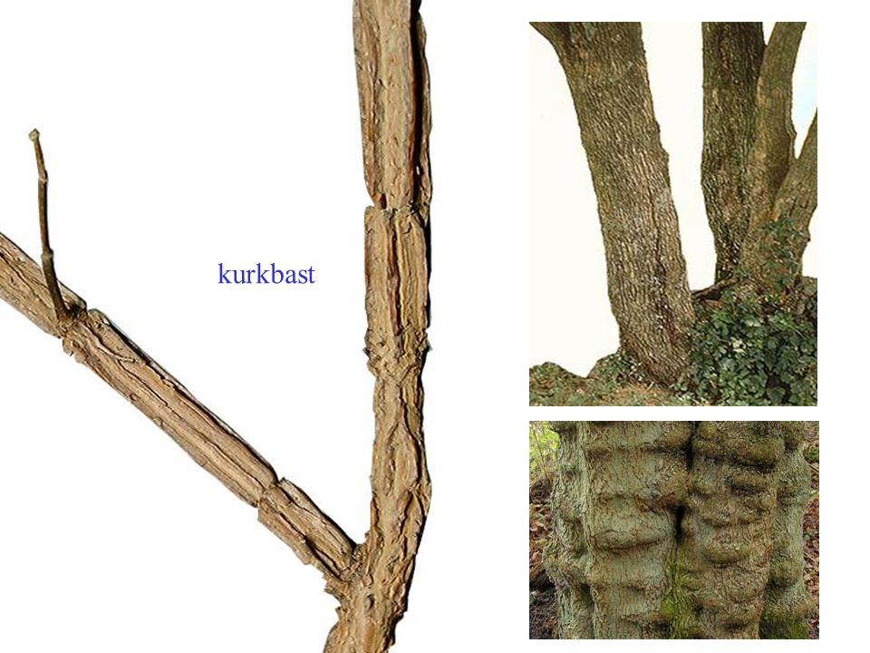 herfstkleur onderzijde wit Acer saccharinum blad