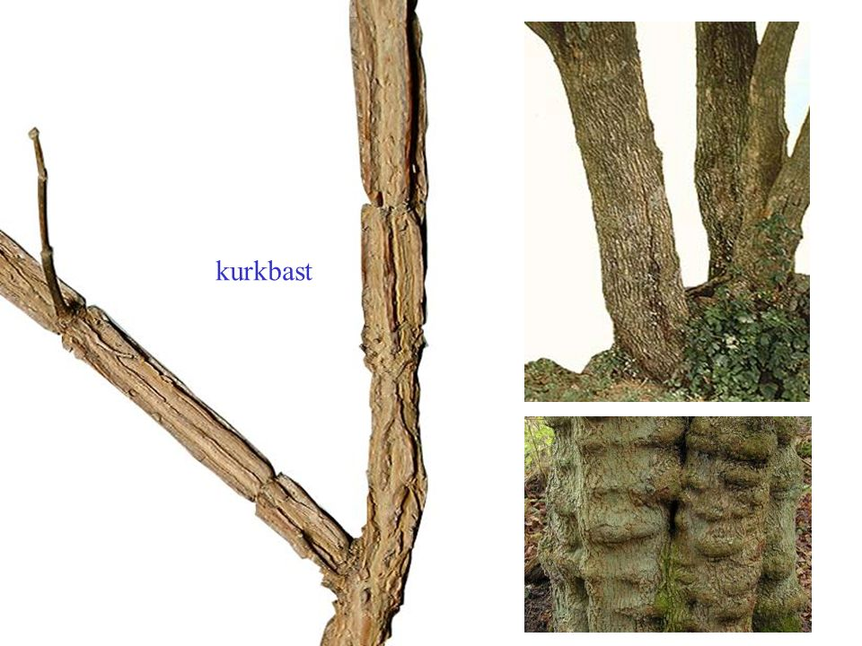 Acer platanoides aanliggende, vaak roodachtige knoppen Noorse esdoorn