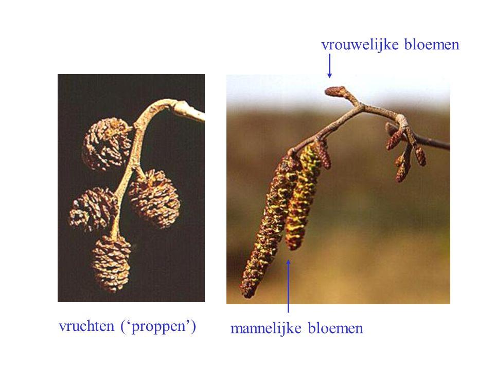 vrouwelijke bloemen mannelijke bloemen vruchten ('proppen') Alnus incana bloei, vrucht