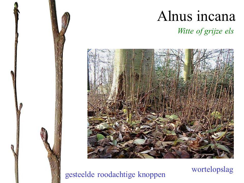 Alnus incana Witte of grijze els gesteelde roodachtige knoppen merg driehoekig (alle Alnus-soorten) wortelopslag
