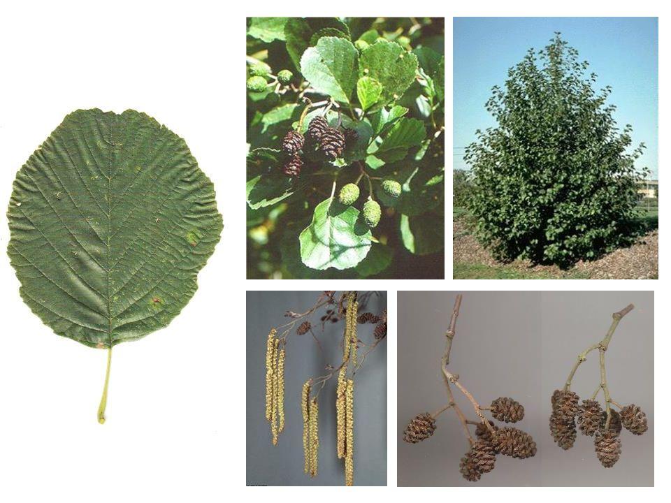 Alnus glutinosa blad, bloei, vrucht