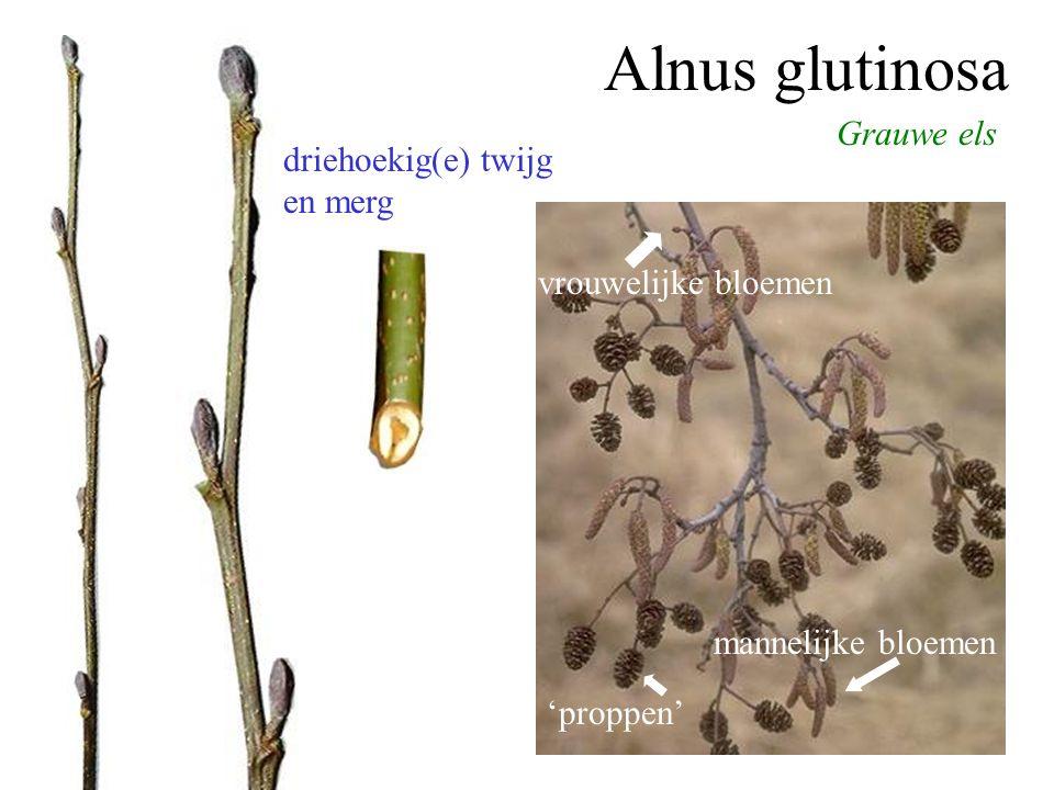 Grauwe els Alnus glutinosa 'proppen' mannelijke bloemen vrouwelijke bloemen driehoekig(e) twijg en merg