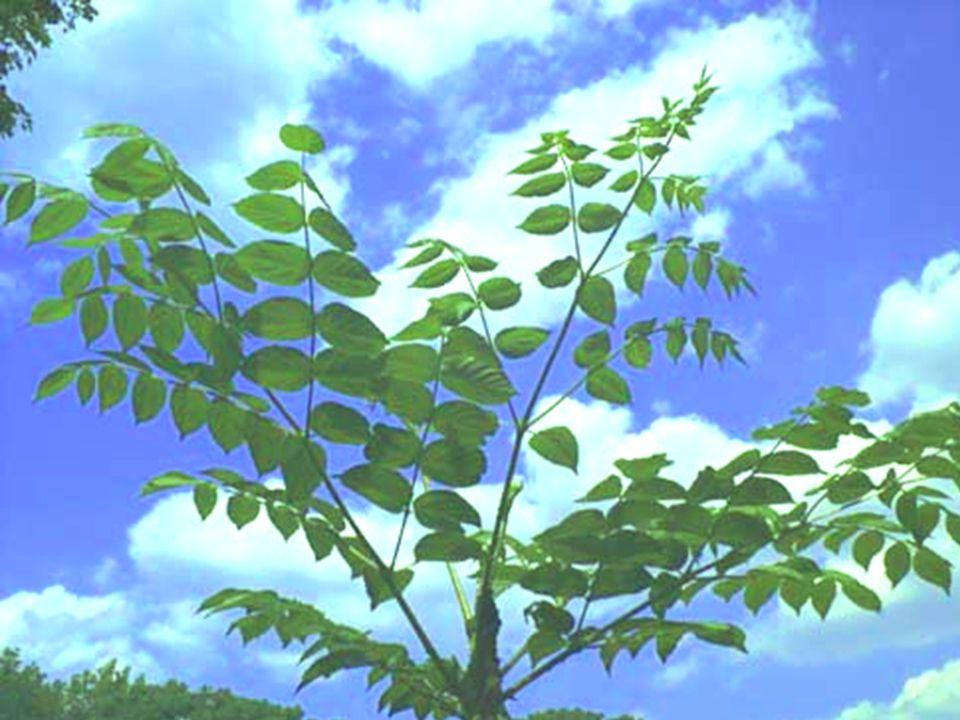 dubbel- geveerd gestekelde bladstelen Aralia elata blad