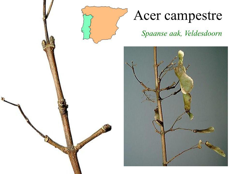 Aesculus x carnea bloei, vrucht