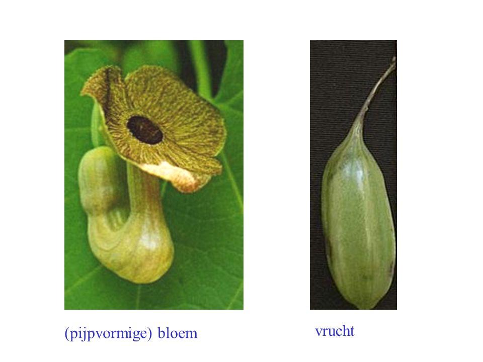 (pijpvormige) bloem vrucht Aristolochia macrophylla bloem, vrucht