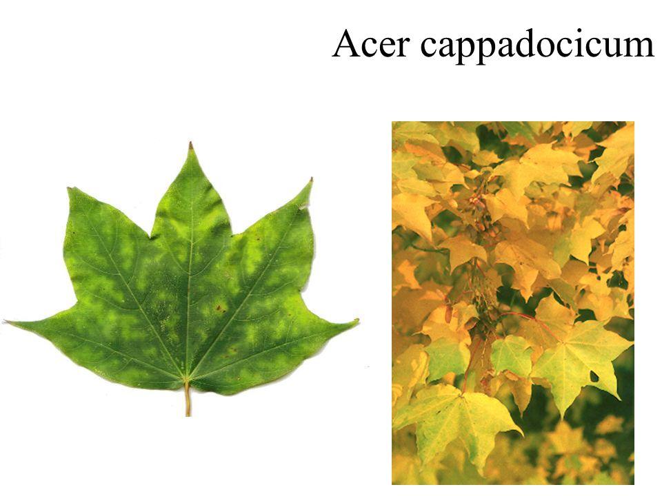 Witte esdoorn dunne, soepele twijgen, opvallende rode knoppen bloemknoppen Acer saccharinum