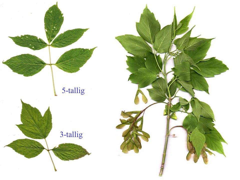 Aristolochia macrophylla blad, plant