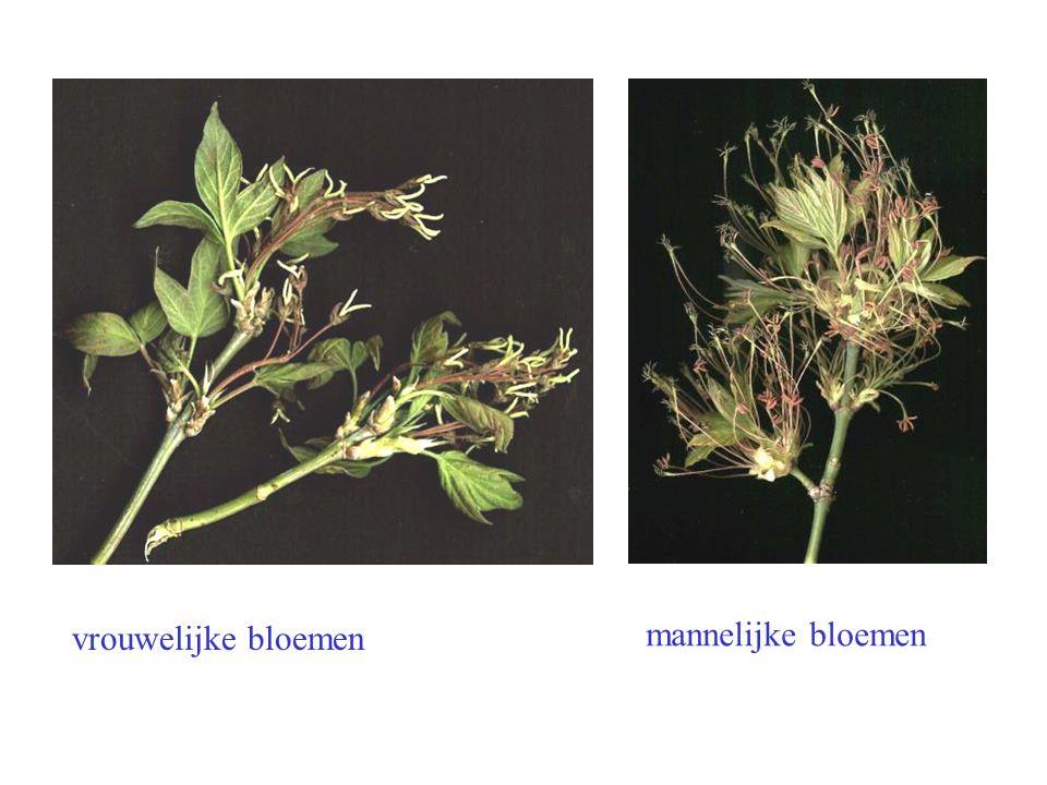 vrouwelijke bloemen mannelijke bloemen Acer negundo bloei