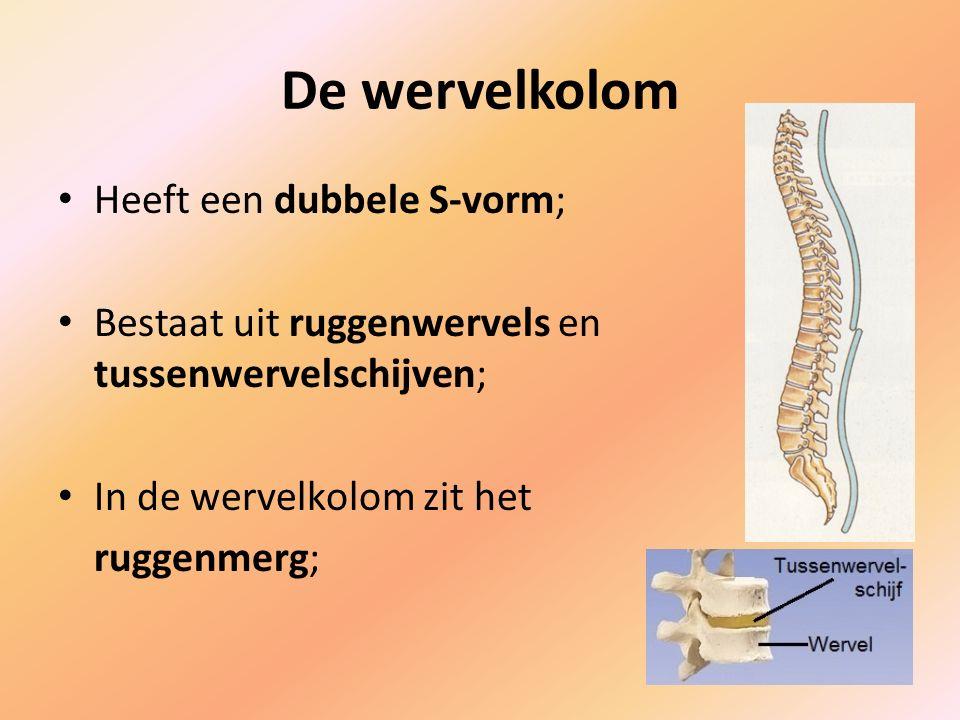 Heeft een dubbele S-vorm; Bestaat uit ruggenwervels en tussenwervelschijven; In de wervelkolom zit het ruggenmerg;