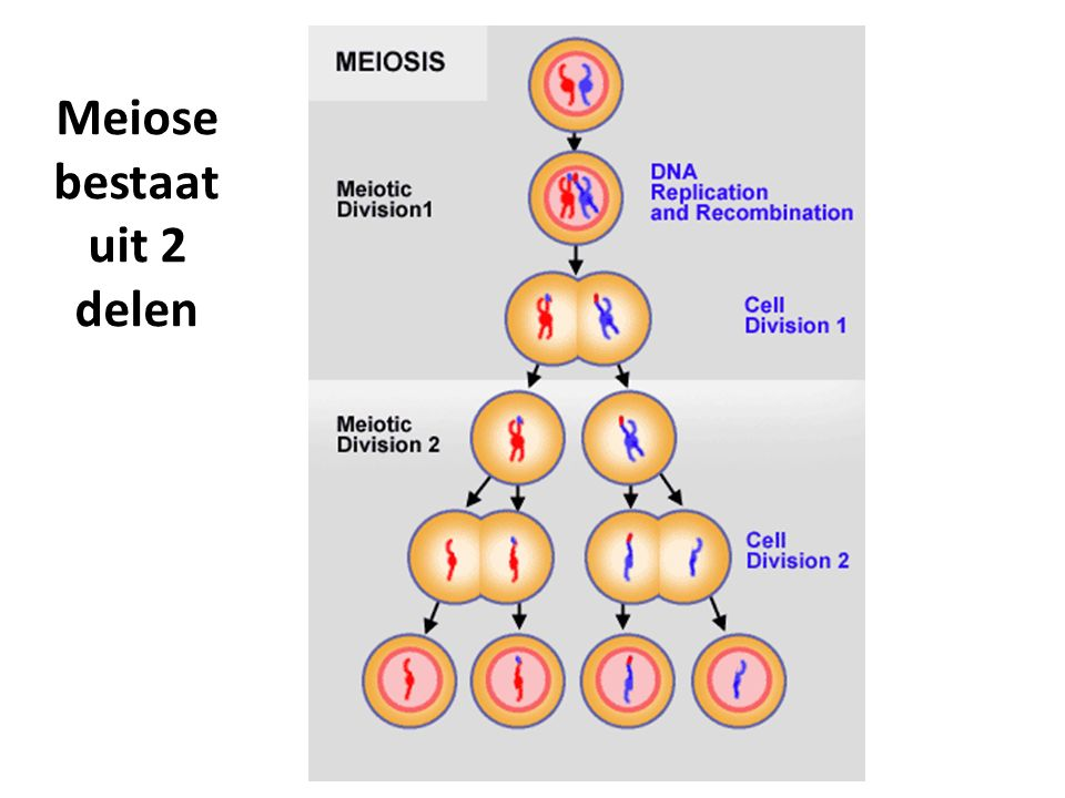 Meiose 2 2 haploide cellen  4 haploide cellen Ofwel: n + n  n + n + n + n Zoals je ziet in de afbeelding van sheet 3 zijn de chromosomen al gerepliceerd voorafgaande aan meiose 1.