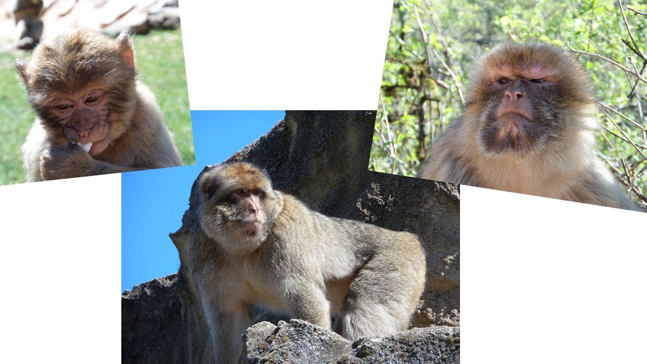 Bronvermelding: http://www.la-foret-des-singes.com/ https://nl.wikipedia.org/wiki/Berberaap