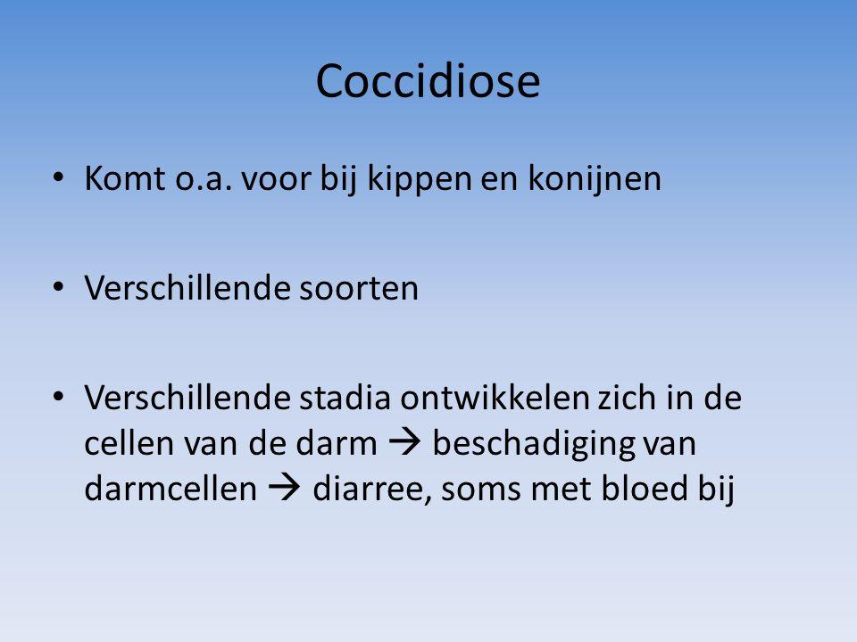 Coccidiose Komt o.a. voor bij kippen en konijnen Verschillende soorten Verschillende stadia ontwikkelen zich in de cellen van de darm  beschadiging v