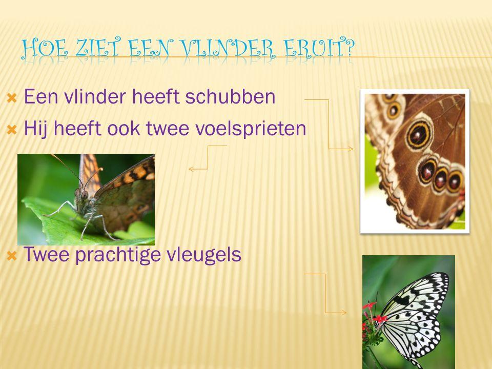  Een vlinder heeft schubben  Hij heeft ook twee voelsprieten  Twee prachtige vleugels