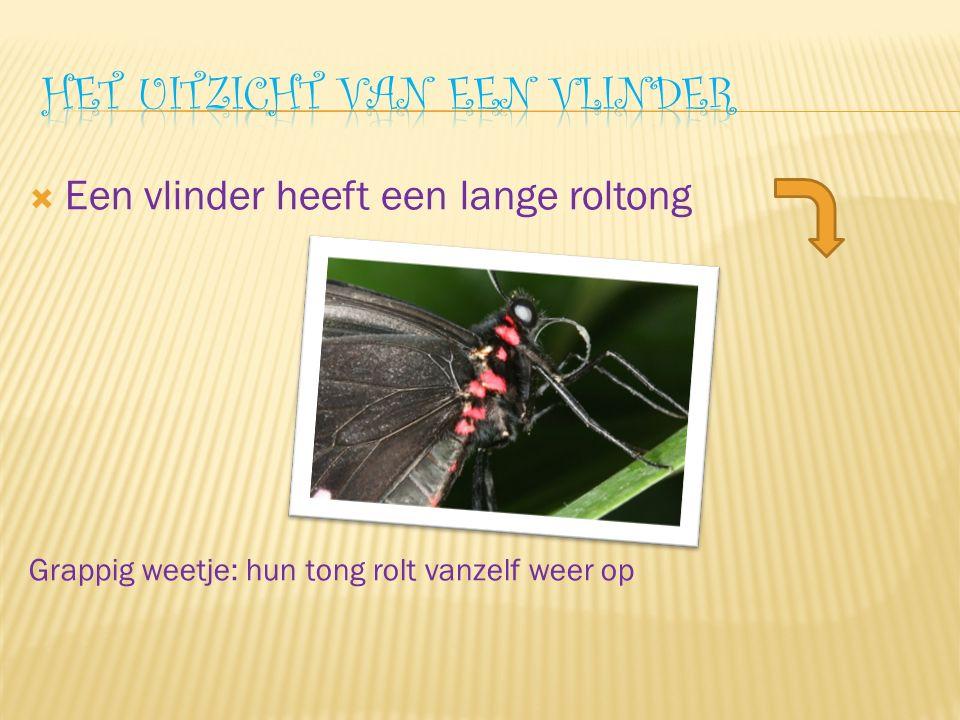  Een vlinder heeft een lange roltong Grappig weetje: hun tong rolt vanzelf weer op