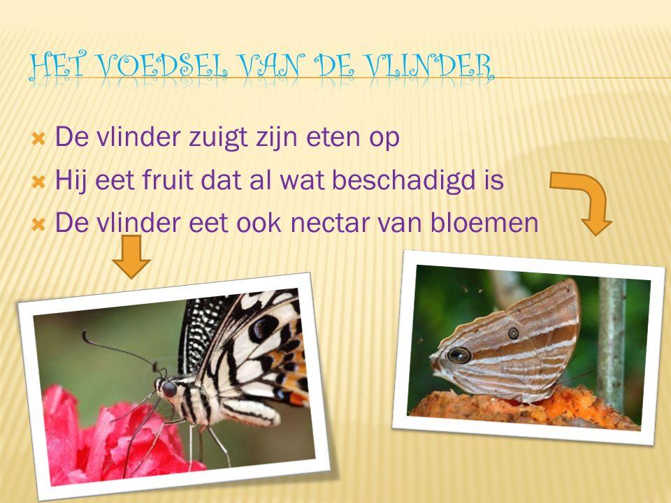  De vlinder zuigt zijn eten op  Hij eet fruit dat al wat beschadigd is  De vlinder eet ook nectar van bloemen
