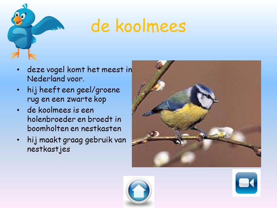 de koolmees deze vogel komt het meest in Nederland voor. hij heeft een geel/groene rug en een zwarte kop de koolmees is een holenbroeder en broedt in